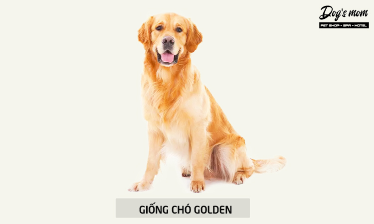 Chó Golden