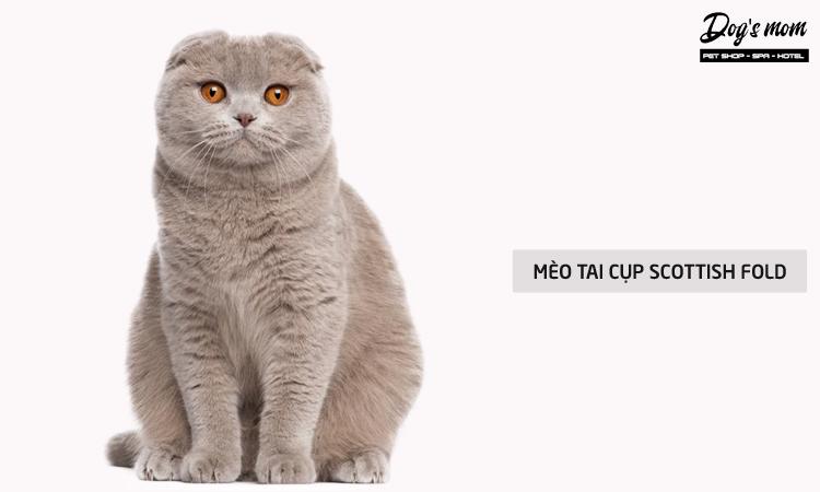 Mèo tai cụp Scottish Fold