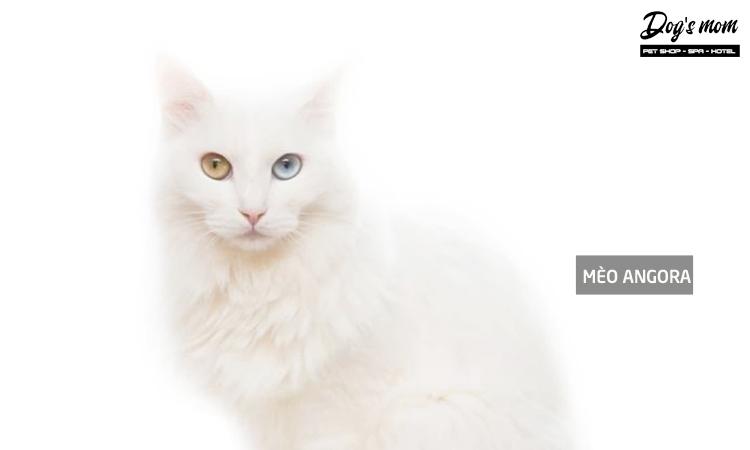 Mèo Turkish Angora