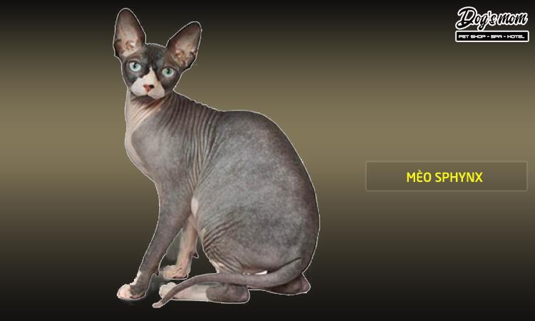 Mèo Sphynx không lông