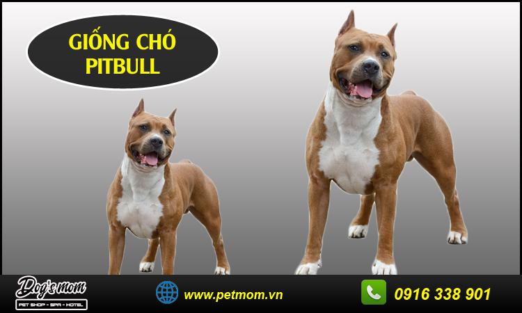 Chó Pitbull
