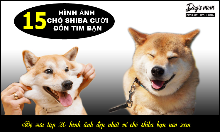 Chó shiba cười