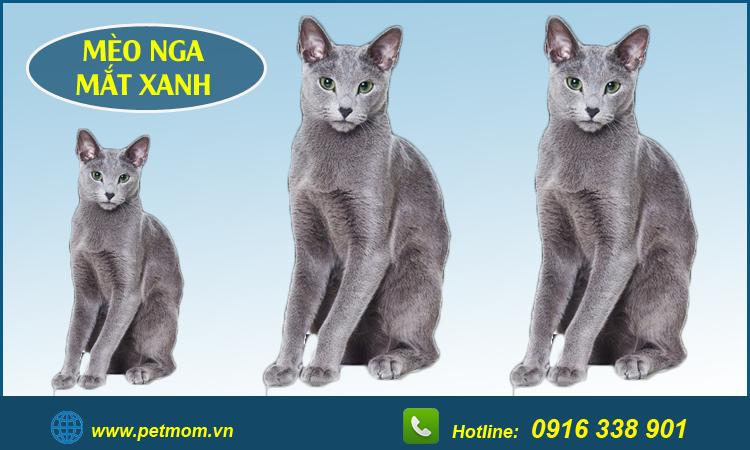 Mèo Nga mắt xanh