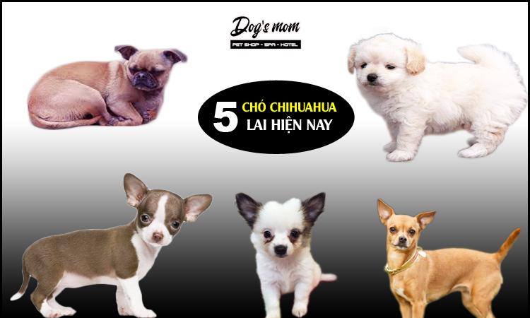 Các giống chó chihuahua lai đẹp nhất 2020
