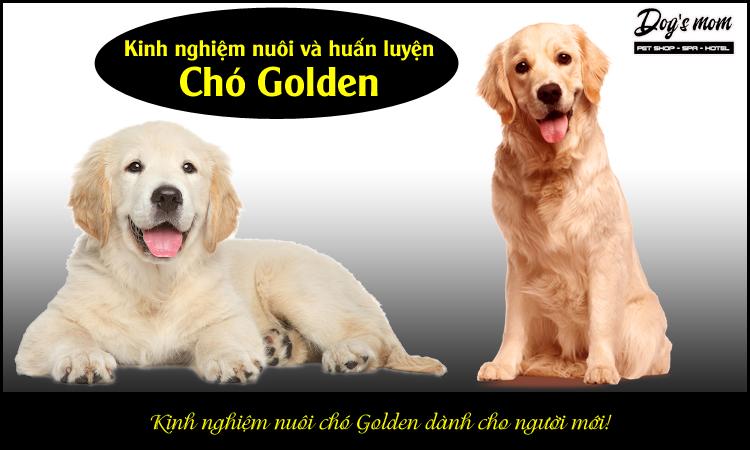 Kinh nghiệm nuôi chó Golden