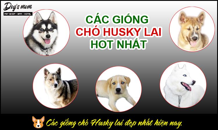 Các giống chó husky lai