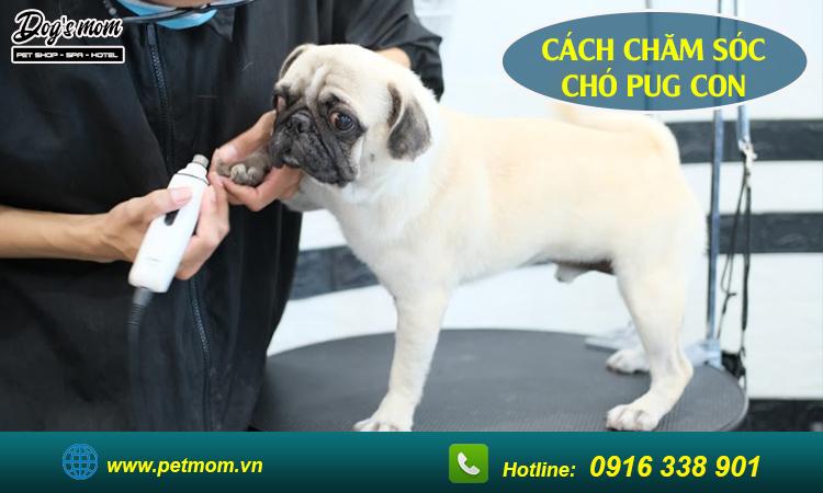 Cách chăm sóc chó Pug con