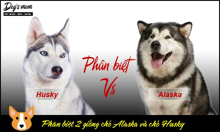 Cách phân biệt chó husky và alaska