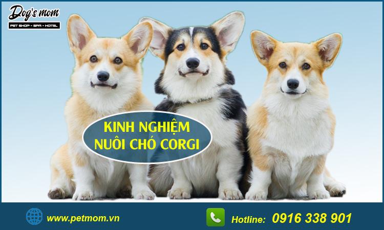 Có nên nuôi chó Corgi không?