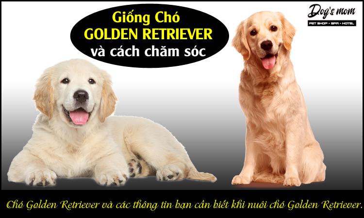 Cách nuôi chó Golden Retriever
