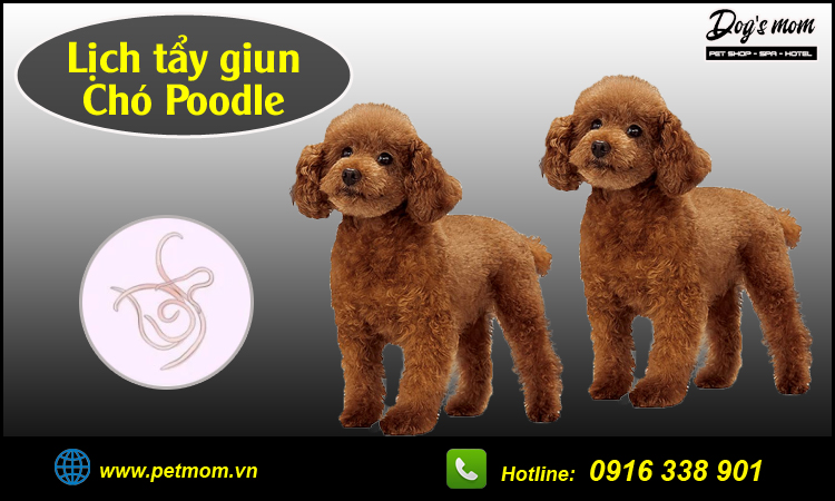 Lịch tẩy giun chó Poodle