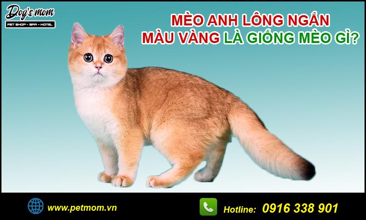 Mèo anh lông ngắn màu vàng