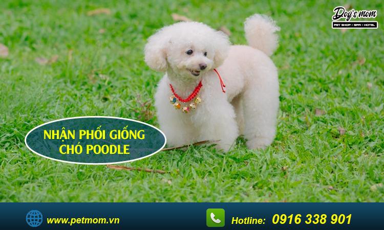 Phối giống chó poodle