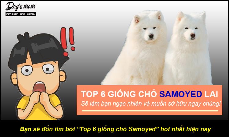 Top 6 giống chó Samoyed lai hot nhất hiện nay
